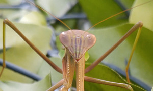 2015sep023_praying_mantis