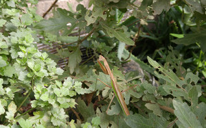 2015sep161_praying_mantis_gold