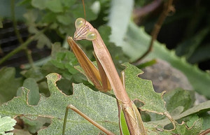 2015sep162_praying_mantis_gold