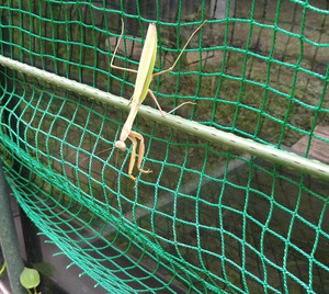 Praying_mantis