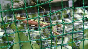 2015sep191_praying_mantis