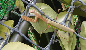 2015sep202_praying_mantis
