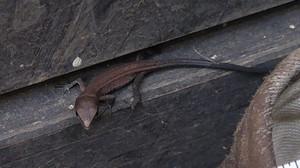 2015sep282_lizard