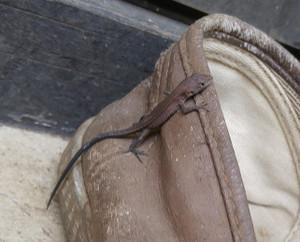 2015sep286_lizard