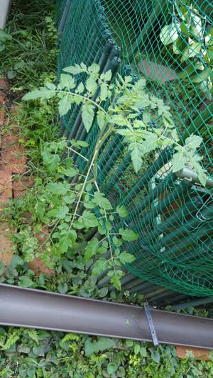 2015sep152_tomato
