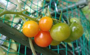 2015dec141_tomato