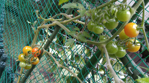 2015dec231_tomato