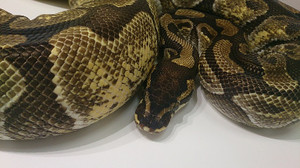 Enchi_pk_female_2014jan257