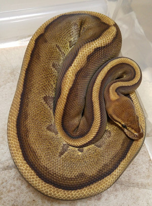 Genetic_stripe_male_2016aug131