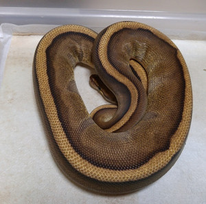 Genetic_stripi_female_2016aug3001