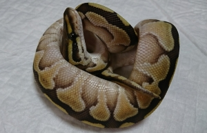 Butter-female2