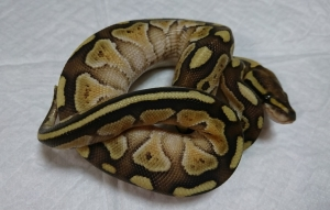 Butter-male2