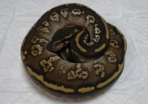 Circlemojave-male1