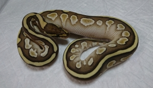 Lesser-11-male2