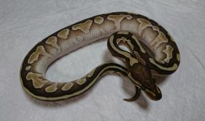 Lesser-12-male2