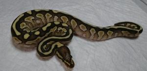 Lesser-2-male2